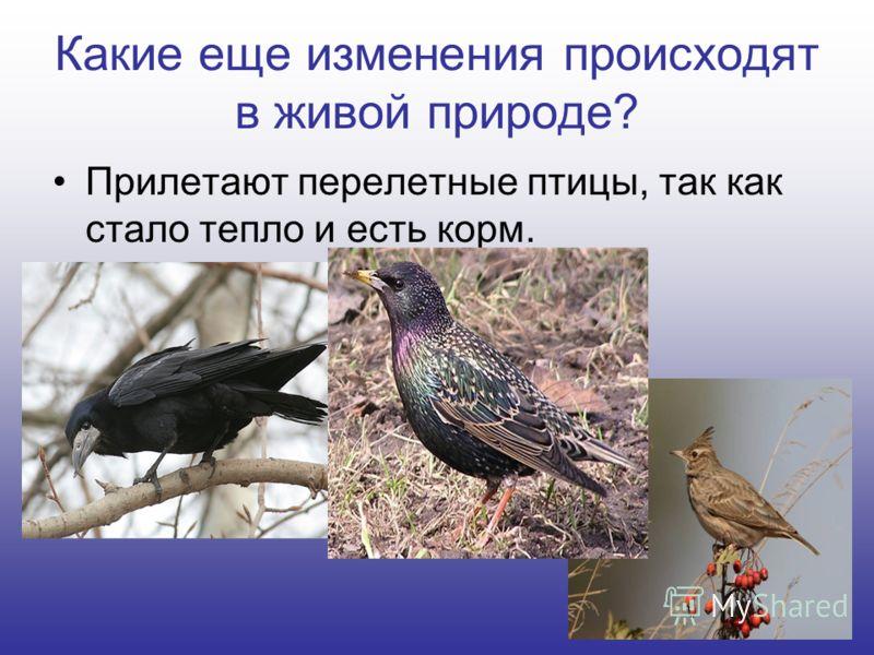 Какие еще изменения происходят в живой природе? Прилетают перелетные птицы, так как стало тепло и есть корм.