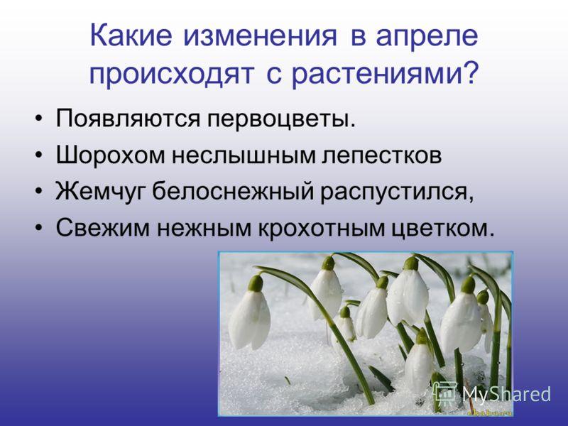 Какие изменения в апреле происходят с растениями? Появляются первоцветы. Шорохом неслышным лепестков Жемчуг белоснежный распустился, Свежим нежным крохотным цветком.