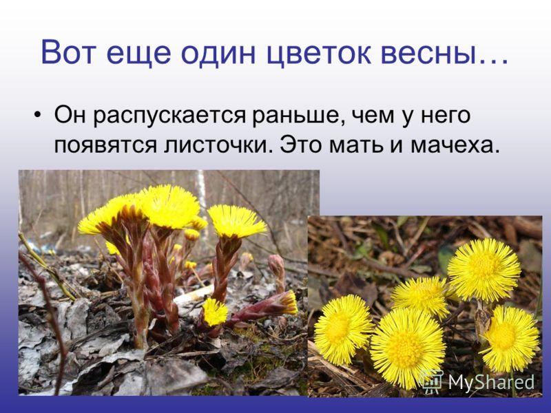 Вот еще один цветок весны… Он распускается раньше, чем у него появятся листочки. Это мать и мачеха.