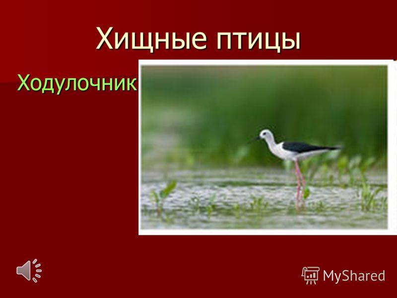 Хищные птицы Ходулочник