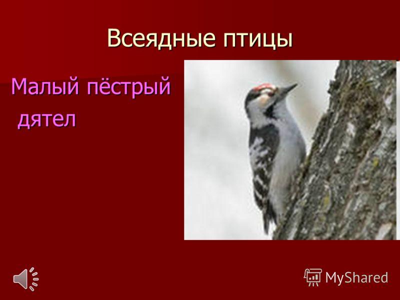 Всеядные птицы Малый пёстрый дятел дятел