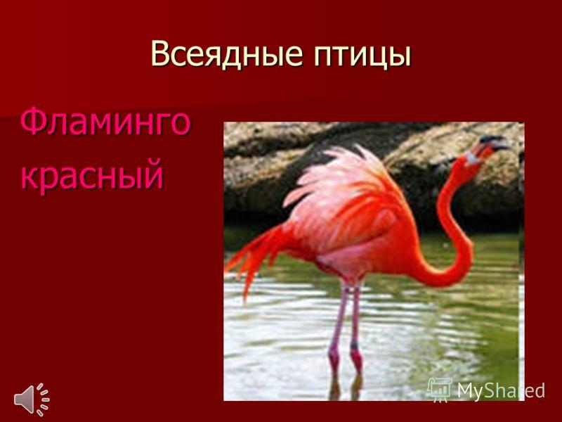 Всеядные птицы Фламингокрасный