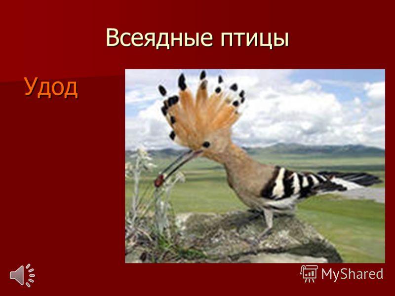 Всеядные птицы Удод