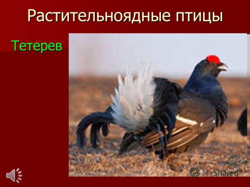 Растительноядные птицы Тетерев Тетерев