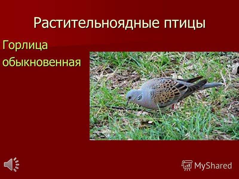 Растительноядные птицы Горлицаобыкновенная