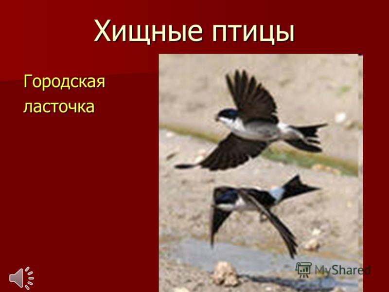 Хищные птицы Городскаяласточка
