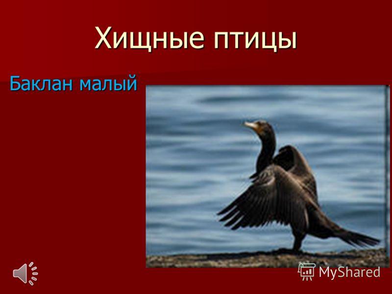 Хищные птицы Баклан малый Баклан малый