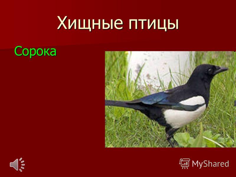 Хищные птицы Сорока