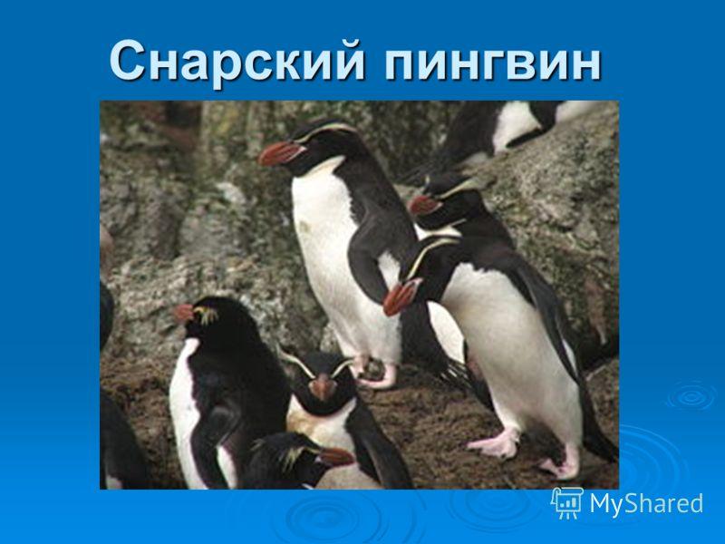Королевский пингвин похож на императорского пингвина, но немного мельче его размерами и ярче окраской. Длина тела королевского пингвина составляет от 91 до 96 см. Взрослые птицы имеют серую спину, по бокам чёрной головы и на груди крупные яркие оранж