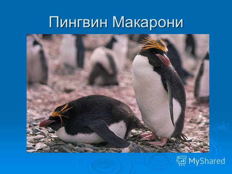 Снарский пингвин (лат. Eudyptes robustus) вид хохлатых пингвинов. Снарский пингвин (лат. Eudyptes robustus) вид хохлатых пингвинов. Снарский пингвин имеет средние размеры: рост около 55 см и масса около 4 кг. Сзади пингвин чёрный, спереди белый, клюв