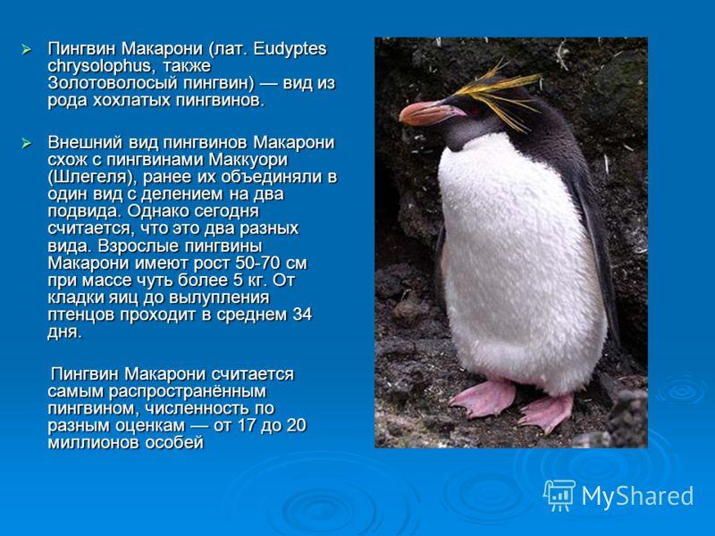 Пингвин Макарони