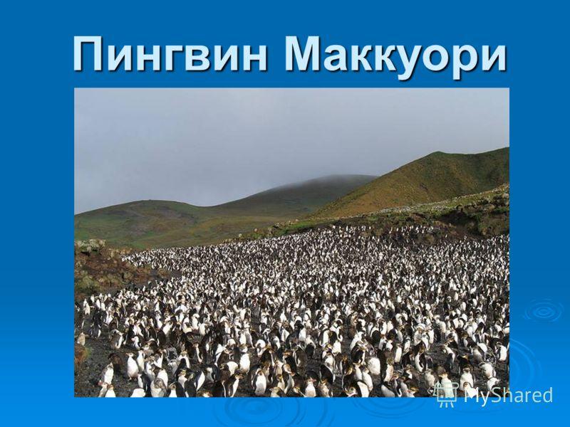 Пингвин Макарони (лат. Eudyptes chrysolophus, также Золотоволосый пингвин) вид из рода хохлатых пингвинов. Пингвин Макарони (лат. Eudyptes chrysolophus, также Золотоволосый пингвин) вид из рода хохлатых пингвинов. Внешний вид пингвинов Макарони схож
