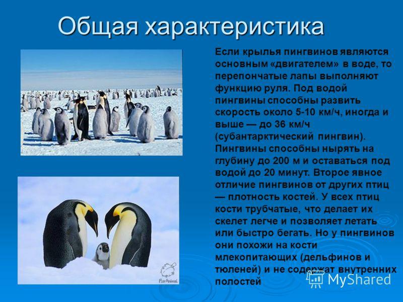 Общая характеристика От всех прочих птиц пингвинов отличает совершенно особое строение тела. Форма тела пингвинов обтекаемая, что идеально для передвижения в воде. Передние конечности пингвинов ни что иное, как ласты. Мускулатура и устройство костей