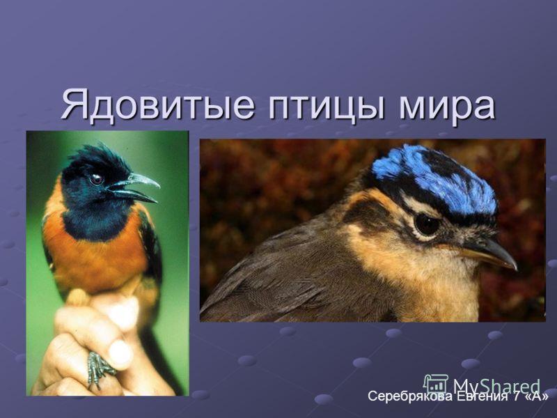 Ядовитые птицы мира Серебрякова Евгения 7 «А»