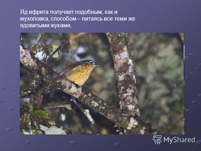 Яд ифрита получает подобным, как и мухоловка, способом – питаясь все теми же ядовитыми жуками.