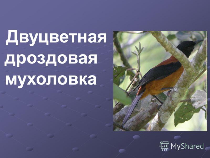Двуцветная дроздовая мухоловка