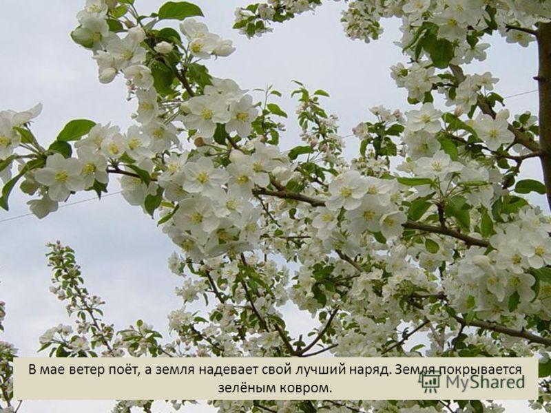 В мае ветер поёт, а земля надевает свой лучший наряд. Земля покрывается зелёным ковром.
