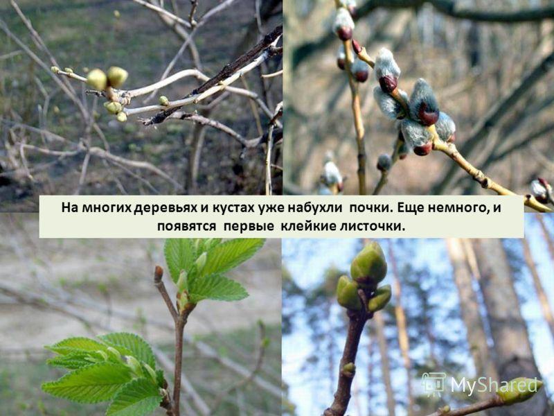 На многих деревьях и кустах уже набухли почки. Еще немного, и появятся первые клейкие листочки.