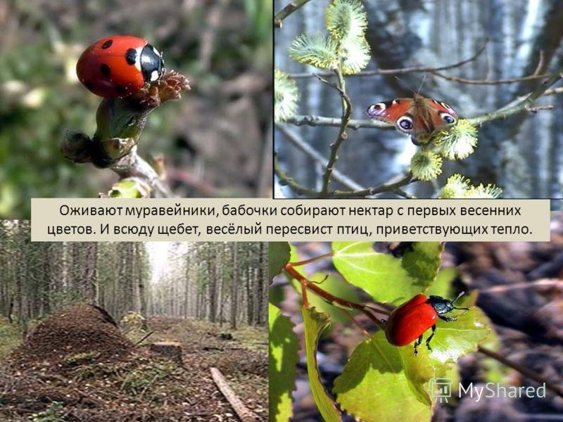 Оживают муравейники, бабочки собирают нектар с первых весенних цветов. И всюду щебет, весёлый пересвист птиц, приветствующих тепло.