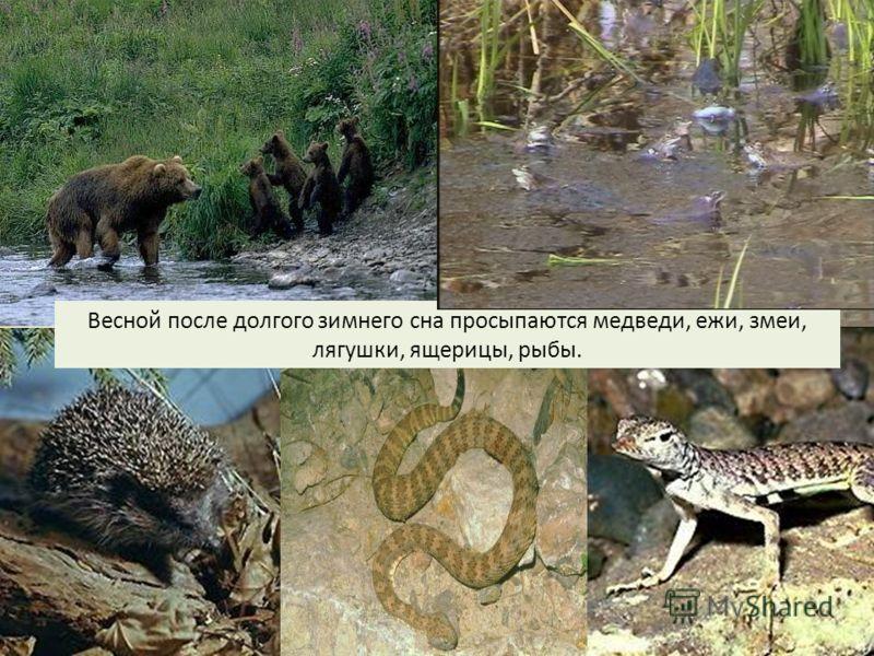 Весной после долгого зимнего сна просыпаются медведи, ежи, змеи, лягушки, ящерицы, рыбы.