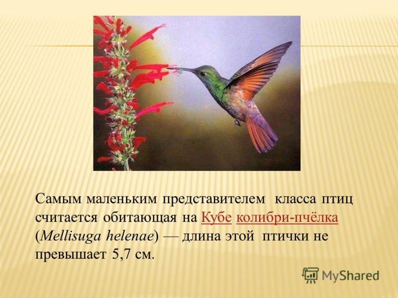 Самым маленьким представителем класса птиц считается обитающая на Кубе колибри-пчёлка (Mellisuga helenae) длина этой птички не превышает 5,7 см.Кубеколибри-пчёлка