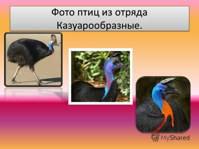 Казуарообразные. Достигает высоты 1,5 м и веса около 80 кг. На голове казуар имеет вырост, называемый «шлемом», который у самцов крупнее, чем у самок. Массивные трёхпалые ноги этой птицы вооружены большими когтями, особенно длинным является коготь це