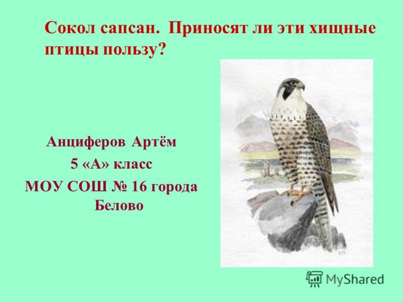 Сокол сапсан. Приносят ли эти хищные птицы пользу? Анциферов Артём 5 «А» класс МОУ СОШ 16 города Белово