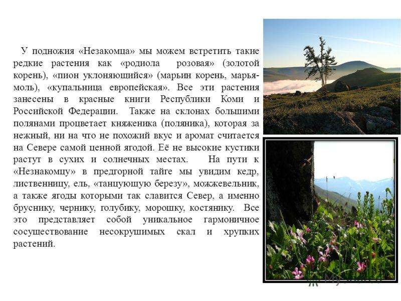 У подножия «Незакомца» мы можем встретить такие редкие растения как «родиола розовая» (золотой корень), «пион уклоняющийся» (марьин корень, марья- моль), «купальница европейская». Все эти растения занесены в красные книги Республики Коми и Российской