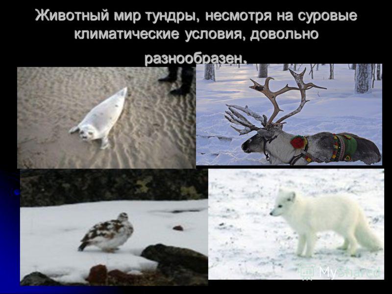 Животный мир тундры, несмотря на суровые климатические условия, довольно разнообразен.