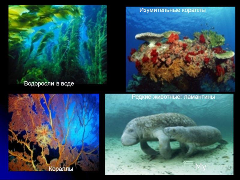 Водоросли в воде Кораллы Изумительные кораллы Редкие животные: ламантины