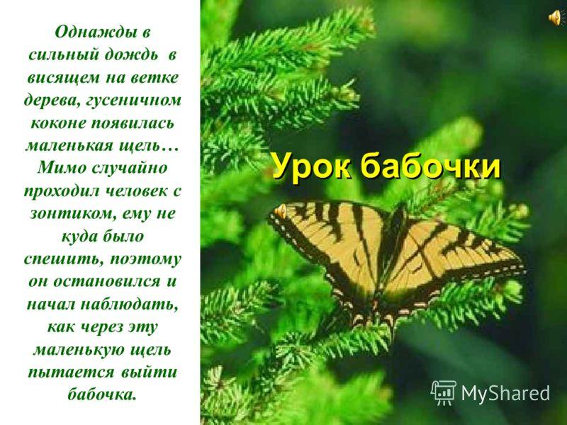 Урок бабочки Урок бабочки Однажды в сильный дождь в висящем на ветке дерева, гусеничном коконе появилась маленькая щель… Мимо случайно проходил человек с зонтиком, ему не куда было спешить, поэтому он остановился и начал наблюдать, как через эту мале