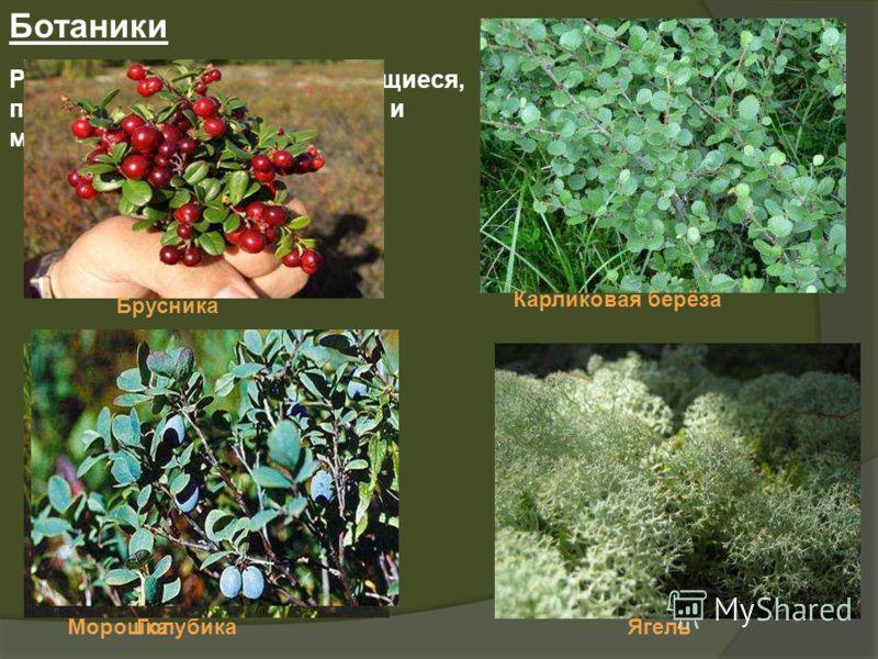 Ботаники Растения низкорослые, стелющиеся, почти у всех небольшие корни и маленькие листья. Карликовая берёза МорошкаЯгель Брусника Голубика