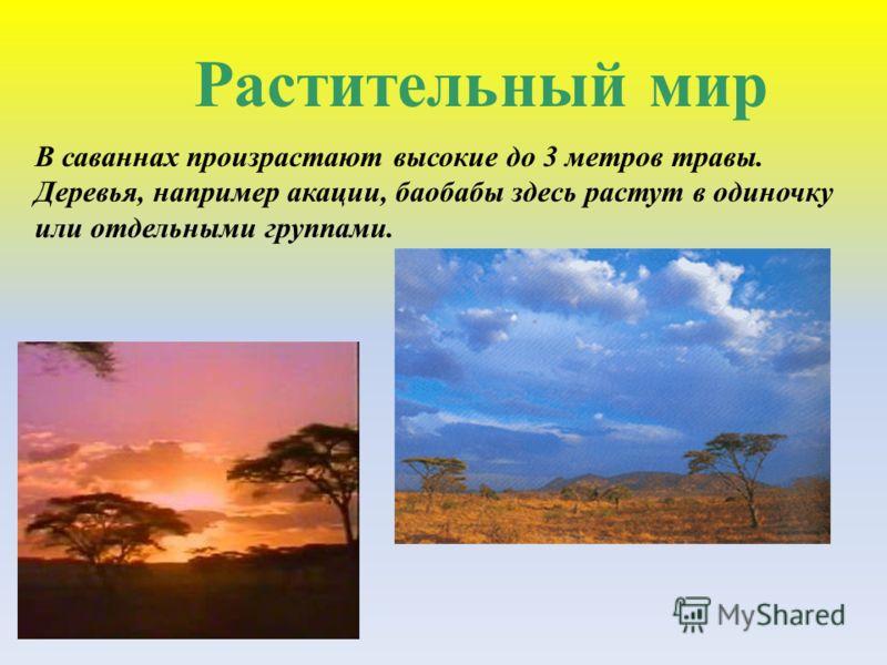 Растительный мир В саваннах произрастают высокие до 3 метров травы. Деревья, например акации, баобабы здесь растут в одиночку или отдельными группами.