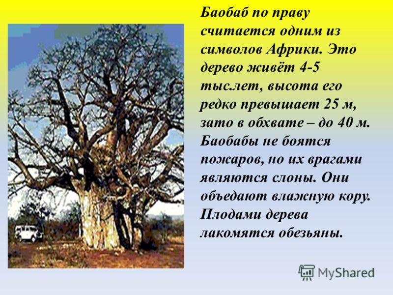 Баобаб по праву считается одним из символов Африки. Это дерево живёт 4-5 тыс.лет, высота его редко превышает 25 м, зато в обхвате – до 40 м. Баобабы не боятся пожаров, но их врагами являются слоны. Они объедают влажную кору. Плодами дерева лакомятся