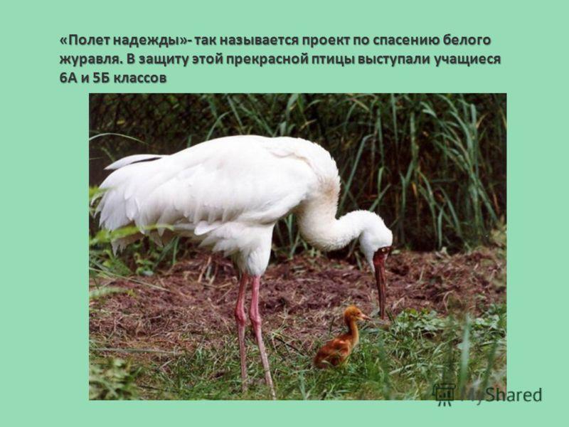 «Полет надежды»- так называется проект по спасению белого журавля. В защиту этой прекрасной птицы выступали учащиеся 6А и 5Б классов