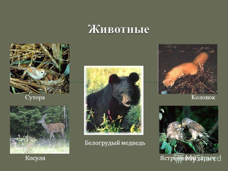 Сутора Колонок Белогрудый медведь Косуля Ястребиный сарыч