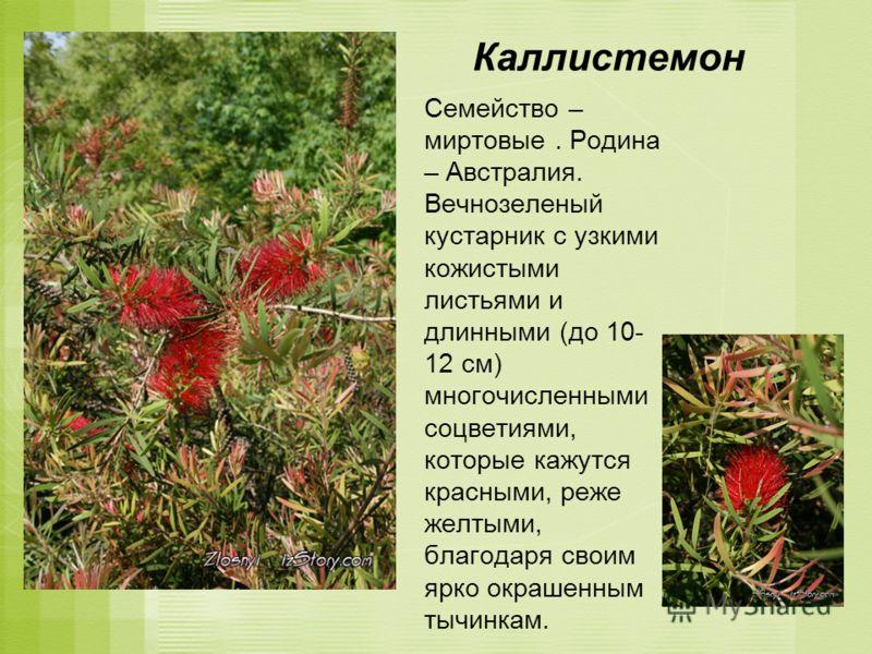 Каллистемон Семейство – миртовые. Родина – Австралия. Вечнозеленый кустарник с узкими кожистыми листьями и длинными (до 10- 12 см) многочисленными соцветиями, которые кажутся красными, реже желтыми, благодаря своим ярко окрашенным тычинкам.
