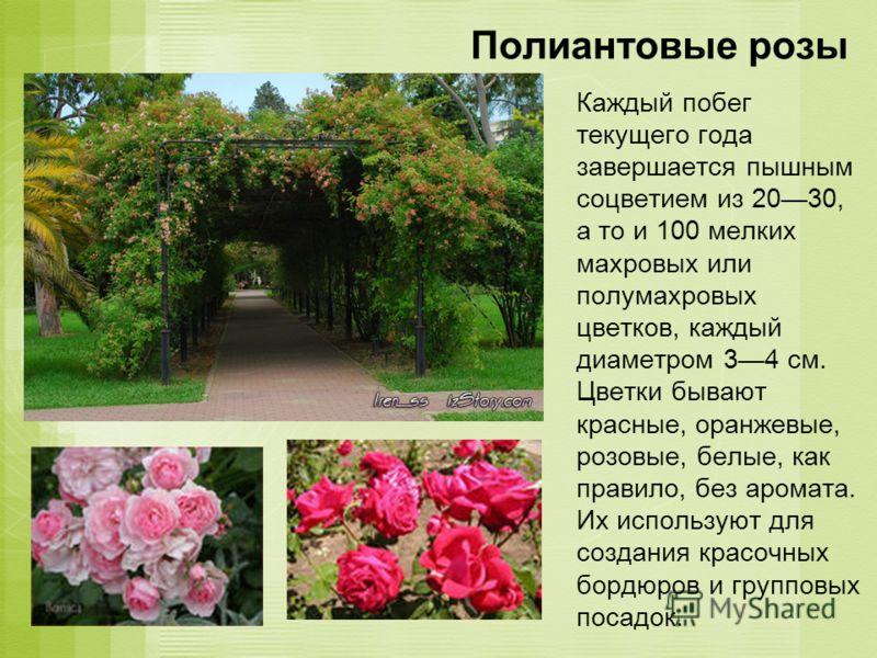 Полиантовые розы Каждый побег текущего года завершается пышным соцветием из 2030, а то и 100 мелких махровых или полумахровых цветков, каждый диаметром 34 см. Цветки бывают красные, оранжевые, розовые, белые, как правило, без аромата. Их используют д
