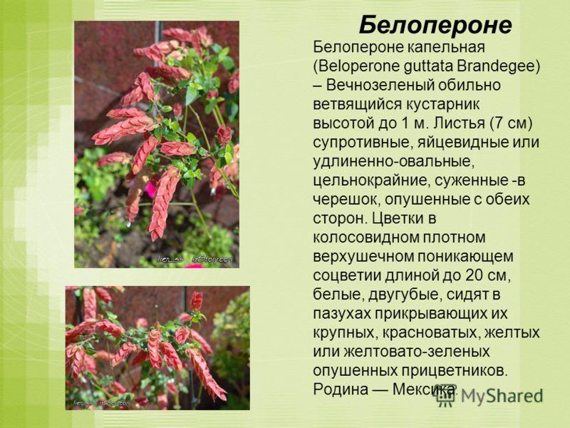 Белопероне Белопероне капельная (Beloperone guttata Brandegee) – Вечнозеленый обильно ветвящийся кустарник высотой до 1 м. Листья (7 см) супротивные, яйцевидные или удлиненно-овальные, цельнокрайние, суженные -в черешок, опушенные с обеих сторон. Цве