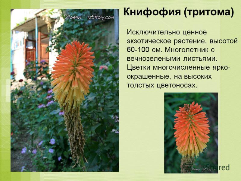 Книфофия (тритома) Исключительно ценное экзотическое растение, высотой 60-100 см. Многолетник с вечнозелеными листьями. Цветки многочисленные ярко- окрашенные, на высоких толстых цветоносах.
