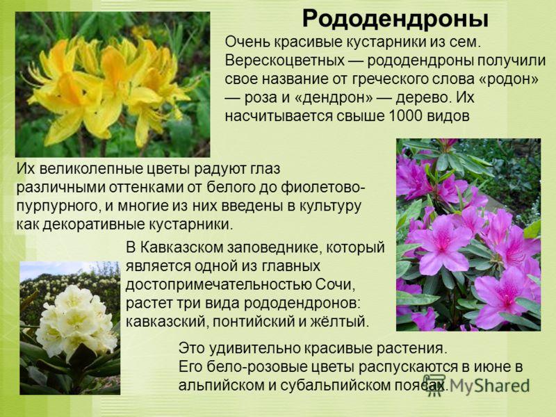 Рододендроны Очень красивые кустарники из сем. Верескоцветных рододендроны получили свое название от греческого слова «родон» роза и «дендрон» дерево. Их насчитывается свыше 1000 видов Их великолепные цветы радуют глаз различными оттенками от белого