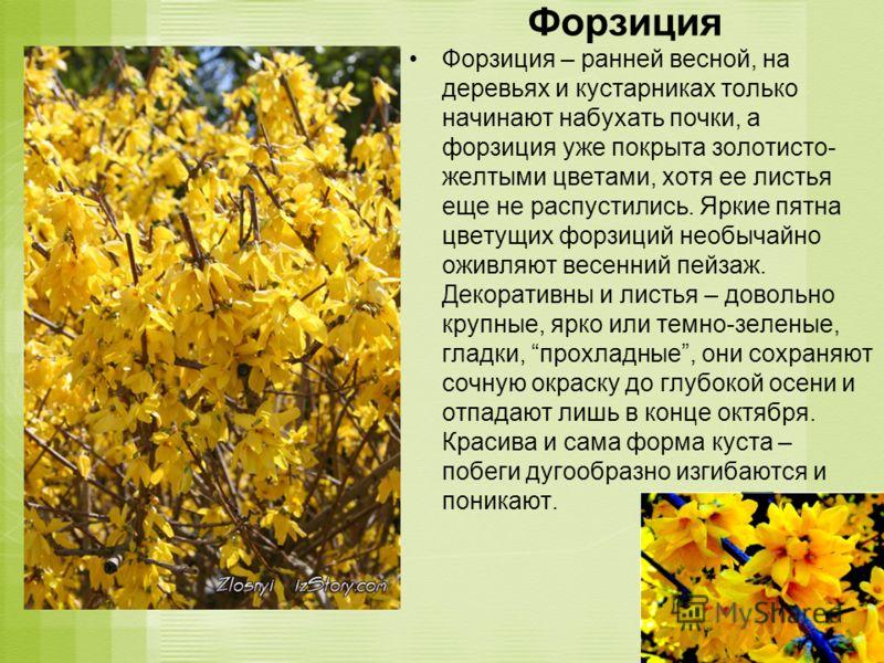 Форзиция Форзиция – ранней весной, на деревьях и кустарниках только начинают набухать почки, а форзиция уже покрыта золотисто- желтыми цветами, хотя ее листья еще не распустились. Яркие пятна цветущих форзиций необычайно оживляют весенний пейзаж. Дек