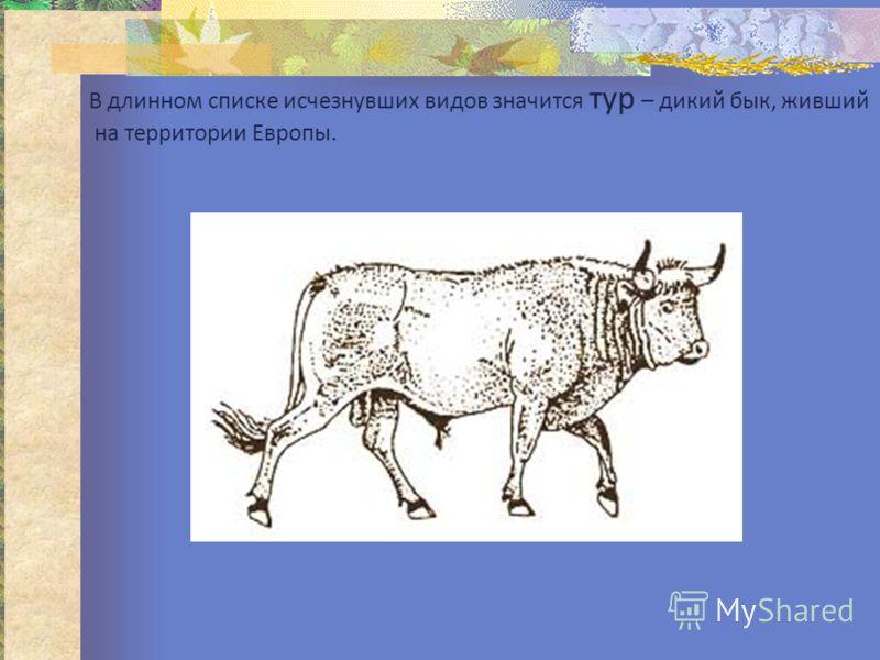 В длинном списке исчезнувших видов значится тур – дикий бык, живший на территории Европы.