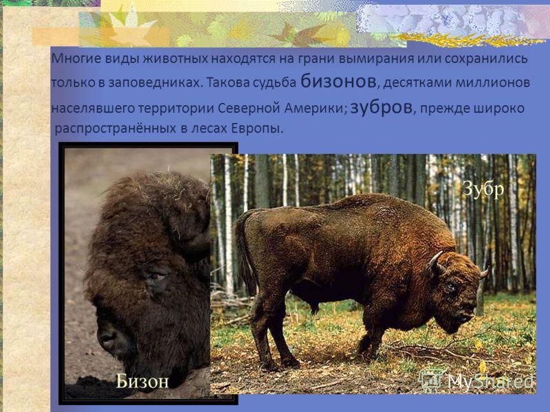 Многие виды животных находятся на грани вымирания или сохранились только в заповедниках. Такова судьба бизонов, десятками миллионов населявшего территории Северной Америки; зубров, прежде широко распространённых в лесах Европы. Бизон Зубр