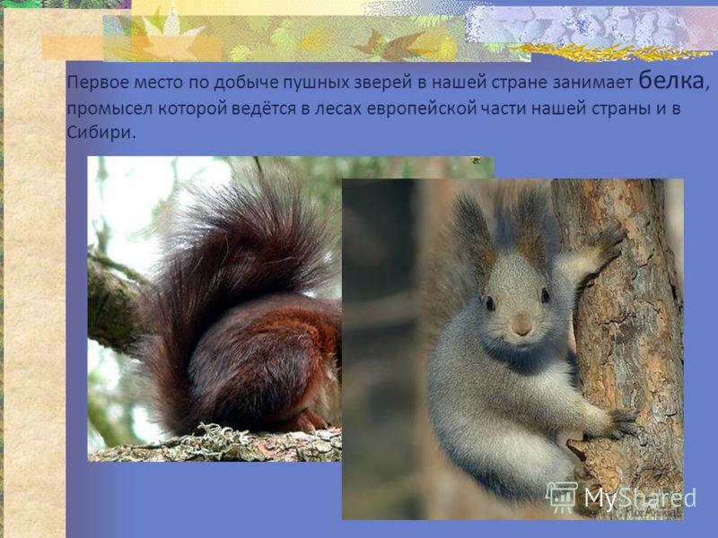 Первое место по добыче пушных зверей в нашей стране занимает белка, промысел которой ведётся в лесах европейской части нашей страны и в Сибири.