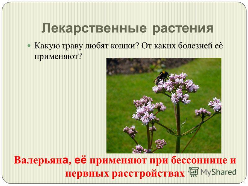 Лекарственные растения Какую траву любят кошки ? От каких болезней е применяют ? Валерьян а, её применяют при бессоннице и нервных расстройствах
