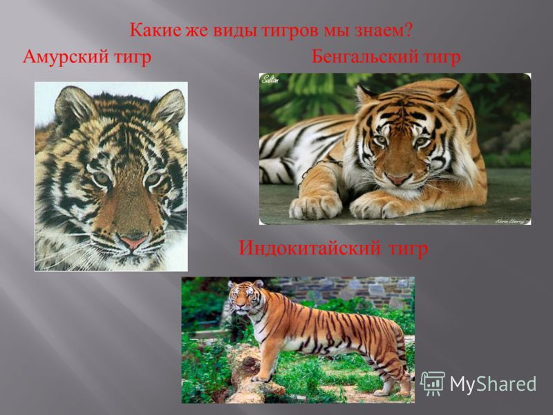 Какие же виды тигров мы знаем ? Амурский тигр Бенгальский тигр Индокитайский тигр