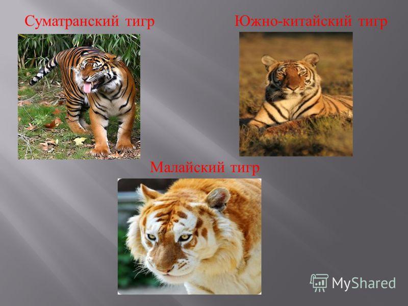 Суматранский тигр Южно - китайский тигр Малайский тигр