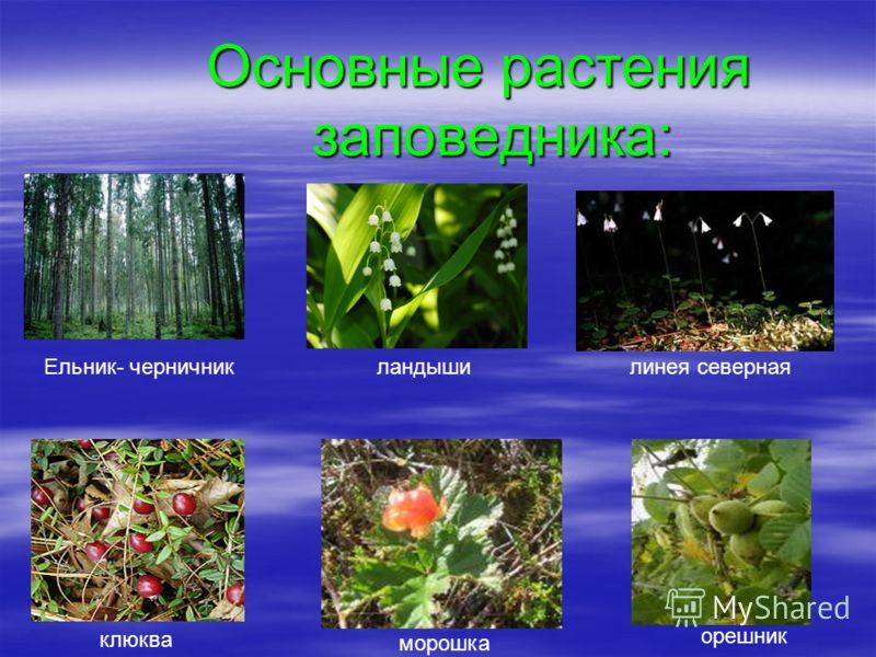 Основные растения заповедника: Ельник- черничникландышилинея северная клюква морошка орешник