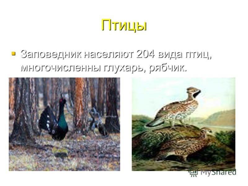 Птицы Заповедник населяют 204 вида птиц, многочисленны глухарь, рябчик. Заповедник населяют 204 вида птиц, многочисленны глухарь, рябчик.